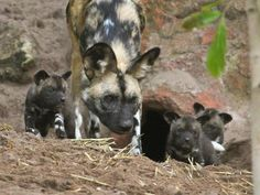 Seven African Painted Dog pups were born at Perth Zoo on May 1, 2012. At seven weeks of age, the four male and three female pups were given their first health check. The mother and other adult pack members co-operate in taking care of the young pups.The zoo has a conservation program for the wild dogs, which are an endangered species in its native Africa. As part of their first health check, the...