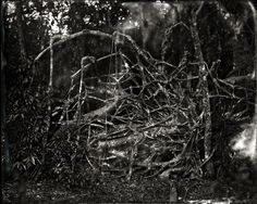 Lisa Elmaleh . tree intestines, Everglades, 2011