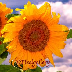Sunflower 10x10 Fine Art Giclee Print by PixelGallery on Etsy, $30.00