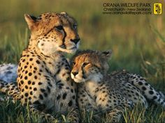 Image detail for -Cheetahs-cheetah-122958_1024_768.jpg