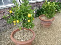 Dwarf fruit trees do well in containers and make care of fruit trees easy. You can find dwarf varieties of almost any type of fruit tree, but citrus trees are the most common. This article has more information.