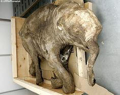 The six-month-old female calf discovered in the permafrost of northern Siberia by a reindeer herder is one of the best-preserved mammoths ever found. Its trunk and eyes were still intact, while it still had some fur left on its body. Its tail and ear were bitten off, probably in a fight with a predator or another mammoth, but there are few clues as to how it died.