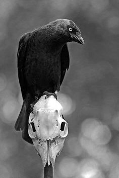 """Hey,"" said Shadow. ""Huginn or Muninn, or whoever you are."" The bird turned, head tipped, suspiciously, on one side, and it stared at him with bright eyes. ""Say 'Nevermore,'"" said Shadow. ""Fuck you,"" said the raven."" ― Neil Gaiman, American Gods"