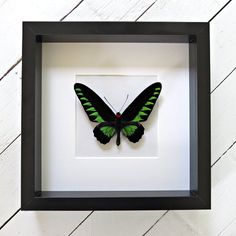 Real framed butterfly: Trogonoptera brookiana // RARE // birdwing butterfly // shadowbox // mounted // green butterfly