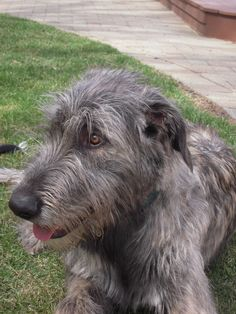 wolfhound pup