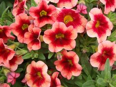 Long, trailing branches cascade over the sides of hanging baskets and other containers, and spread over flower beds. Superbells look like petunias but stay compact and bushy, aren't sticky and perk...