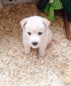 Goberian Puppy Little Babies Pinterest Dog Pup And