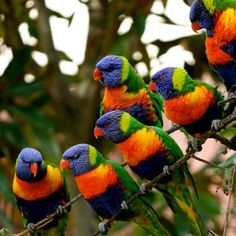 Rainbow lorikeets are brightly colored birds native to parts of Indonesia and Australia and thanks to the exotic pet trade, they're brought to certain parts of the world including the United States, the Caribbean, Africa, and Madagascar.