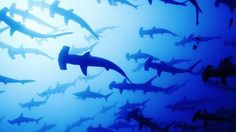BBC - Earth - The sensational world of sharks and rays