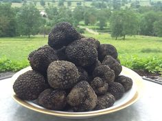 DIY Learn How To Grow These Amazing and Flavorful BURGUNDY Truffles At Home Easily! Fresh and High Quality Tuber uncinatum Mushroom Spawn With Great Harvest Guaranteed! Free International Shipping!