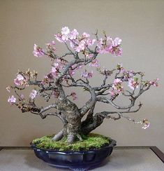 Bonsai Tree Ideas A Guide To Bonsai Trees For Beginners Bonsai Tree Ideas. The art form of bonsai can be a wonderful and unique hobby. Viewing and taking good care of a bonsai collection can be a r… Cherry Blossom Bonsai Tree, Cherry Bonsai, Flowering Bonsai Tree, Bonsai Tree Care, Indoor Bonsai Tree, Bonsai Plants, Bonsai Garden, Blossom Trees, Bonsai Trees