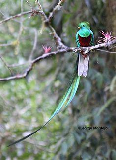 Amazing Birds 3 ~ Resplendent Quetzal