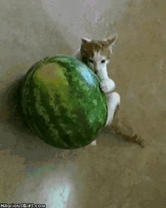 Can cats eat chocolate? Chocolates come under the group of foods that should not be fed to cats. If you try to feed a cat small piece of chocolate. Cat will Cute Captions, Forbidden Fruit, Old Cats, Happy People, Cat Food, Cute Pictures, Watermelon, Animation, Animals