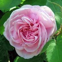 Madame Louis Lévêque, arbuste de 120 cm à port érigé, est peut-être le meilleur rosier mousseux en raison de sa couleur, de son parfum et de sa vigueur. Ses grandes fleurs doubles (10 cm), en quartiers, sont d'une jolie couleur rose vermeil à l'avers et rose bonbon sur le revers des pétales. De plus, il est bien remontant. Malheureusement, il est légèrement sensible à l'oïdium. Centifolia moscosa. Lévêque, 1898.