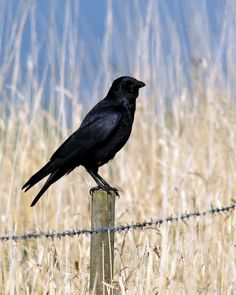Intelligent and adaptable, the American Crow holds a special place in human culture and mythology.