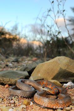 Hemerophis socotrae, Socotra island, endemic Socotra, Reptiles And Amphibians, Snakes, Creatures, Birds, Island, Inspiration, Animals, Biblical Inspiration