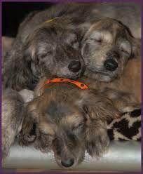 Image result for afghans dog