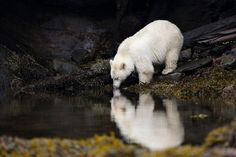 This Rare, White Bear May Be the Key to Saving a Canadian Rainforest   Science   Smithsonian