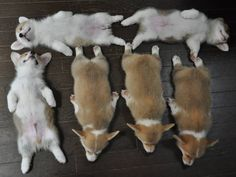 6 corgi pups sleeping :)