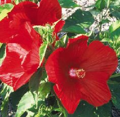 Hibiscus, Rosemallow.  I wonder if I could grow this in a Zone 10