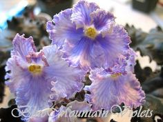 African Violet Feather | eBay Feather (I. Fredette): Double white/blue marking. Variegated, ruffled. Standard.