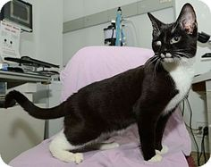 Midnight needs a forever home.  He is a tuxedo cat up for adoption at the Humane Society of New York.