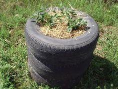 siembra de papas, en pilas de 3 neumáticos reciclados....  colocar tierra en un neumático, y sembrar las papas,  a medida que la planta crezca y ya este sobrepasando en 30 cm se la superficie,colocar el 2 neumáticos y mas tierra, solo dejando un poco de la planta afuera, y así sucesivamente hasta hacerla del alto de 3 o 4 neumáticos. Las raíces van dejando las papitas en cada capa de las gomas, y así se cosechará varios kilos en poco espacio. Tomado de eco lombriz.