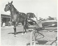 """Bret Hanover loving known as """"the Big Bum"""" harness racing triple crown winner and winner of 21 of his 24 starts what a legend! Standardbred Racing, Horse Racing, Race Horses, Triple Crown Winners, Harness Racing, Thoroughbred, Horse Art, Beautiful Horses, Dogs"""