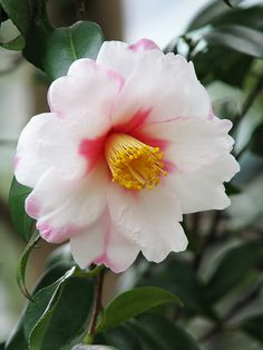 Camellia provestra - Gardening For You Types Of Flowers, All Flowers, Exotic Flowers, Amazing Flowers, My Flower, White Flowers, Beautiful Flowers, Gardenias, Rhododendron