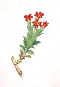 Vintage Printables.com - public domain source for free botanical prints
