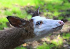 """""""Piebald Deer""""  www.lifeinthenorthwoods.com"""