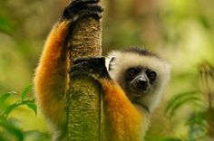 A Golden Sifaka Lemur in a Malagasy rainforest.