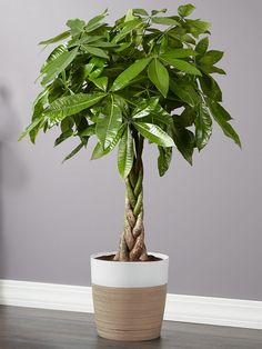 As a symbol of good fortune and prosperity, our money tree house plant is a room-refresh lucky charm. With its abundant growth of large, glossy-green leaves and beautiful braided trunk, it will thrive in bright, indirect sunlight. Indoor Floor Plants, Money Tree Plant Care, Snake Plant Care, Money Trees, Fall Planters, Office Plants, Orchid Care, Foliage Plants, Plant Decor