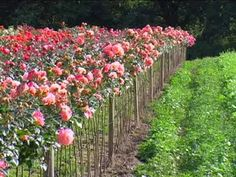 Rosen veredeln – Ausführliche Schritt für Schritt Anleitung