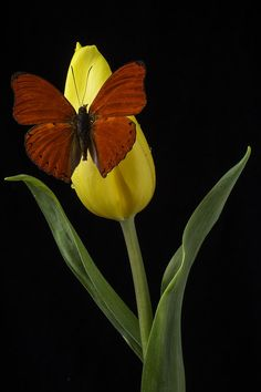 Yellow Photograph - Butterfly Resting On Yellow Tulip by Garry Gay