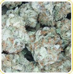 CBD China White Feminized Cannabis Seeds https://reefermanseeds.net/shop/cbd-china-white-feminized/ #cbd #cannabis #cannabidiol
