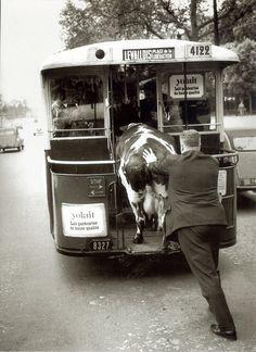 Henri Roger-Viollet- Homme poussant une vache dans un bus, Paris, 1950.