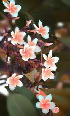 Frangipani blossoms