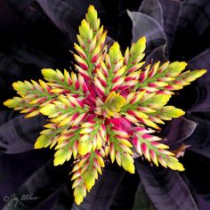 "beauty-rendezvous: "" Bromeliad (Aechmea chantinii) 'Black' (by graphicgreg) """