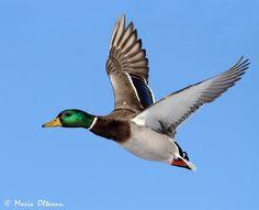 Plain Duck Flying