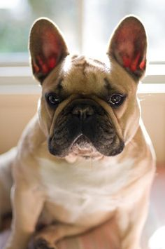 French Bulldog - I would name him Bear and he would be my little bear.