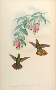 Bomarea andimarcana - circa 1861