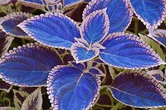 Houseplants That Filter the Air We Breathe : 100 Bag Blue Coleus Seeds, Beautiful Flowering Plants, Potted Bonsai Balcony Spell Color : Patio, Lawn and Garden Flower Pots, Plants, Colorful Plants, Lawn And Garden, Foliage Plants, Blue Plants, Bonsai Flower, Shade Garden Plants, Flower Seeds