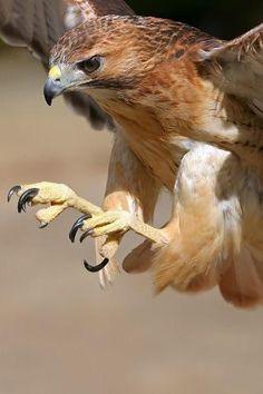 Love Hawks!
