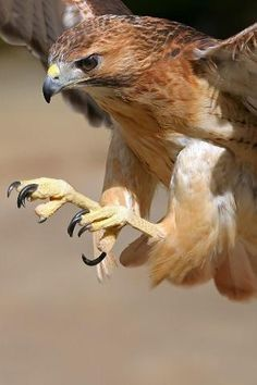 Hawk-The POWER of their talons (feet), eyes, and wings make the Raptors/Bird of Prey mighty birds.