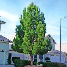 Pinus eldarica (Afghan Pine)
