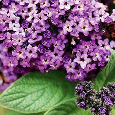 Heliotrope - Beautiful and smells divine. Like sweet vanilla.