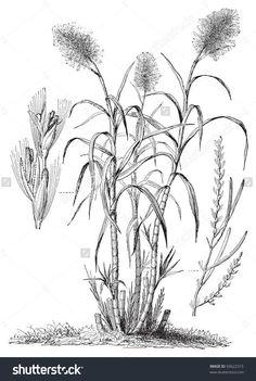 engraved illustration sugar cane - Pesquisa Google