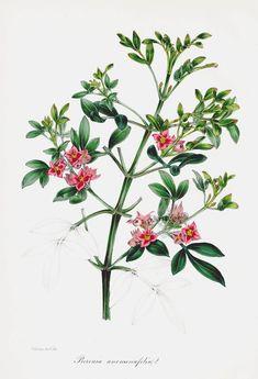 J. Paxton Australian Botanical Prints 1834