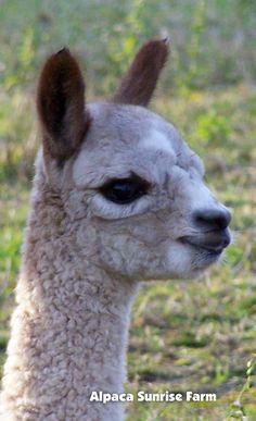 HUACAYA CRIA. Alpaca Sunrise Farm is a full-service Alpaca farm since 1998 • Alpaca sales • breeding • boarding • Alpaca raw fiber, yarn, roving sales for knitters, crocheters, weavers and fiber artists. www.AlpacaSunrise.com #alpaca #alpacas